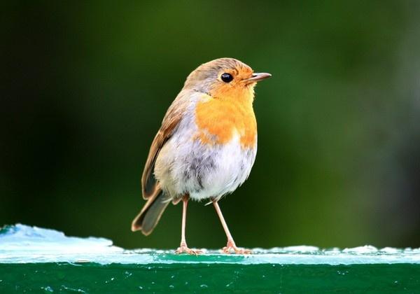 Robin on a Fence by braddy