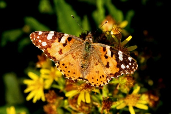 Painted Lady by braddy