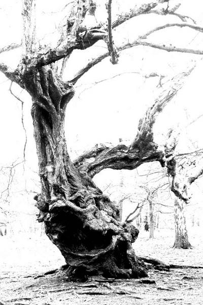 The Olde Tree by tjdup