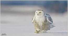 Snow Owl...