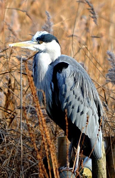 Grey Heron by mike