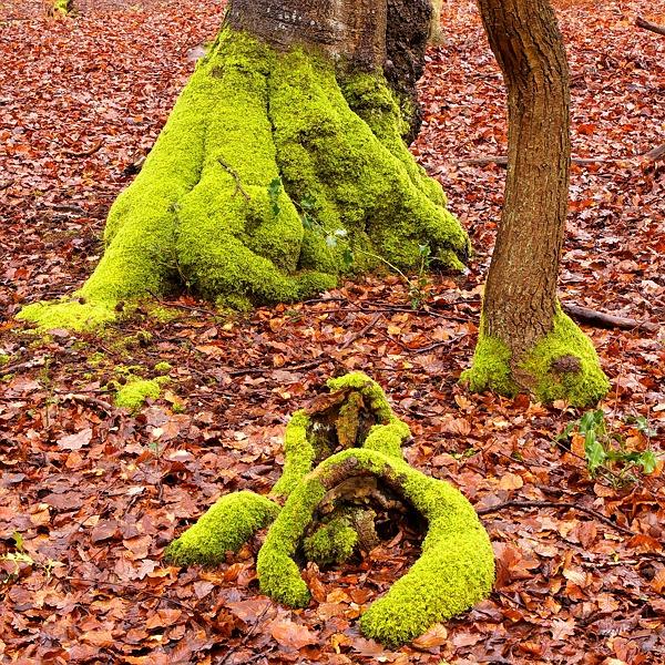 Beechwood Moss by malc_c