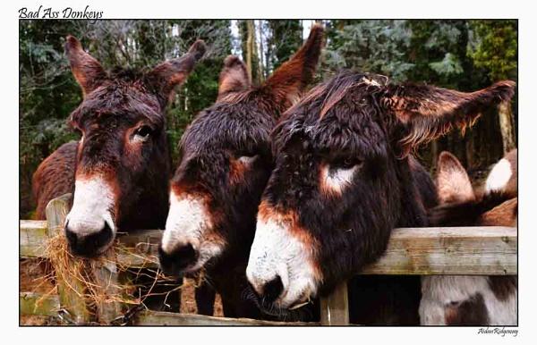 "Bad \""Ass\"" Donkeys by Ridgeway"