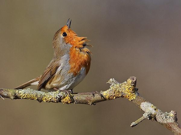 Robin by JonMA