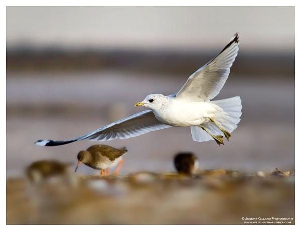 Common Gull by WildLight