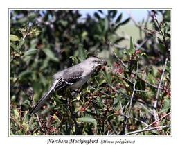 Mockingbird (Mimus polyglottos)
