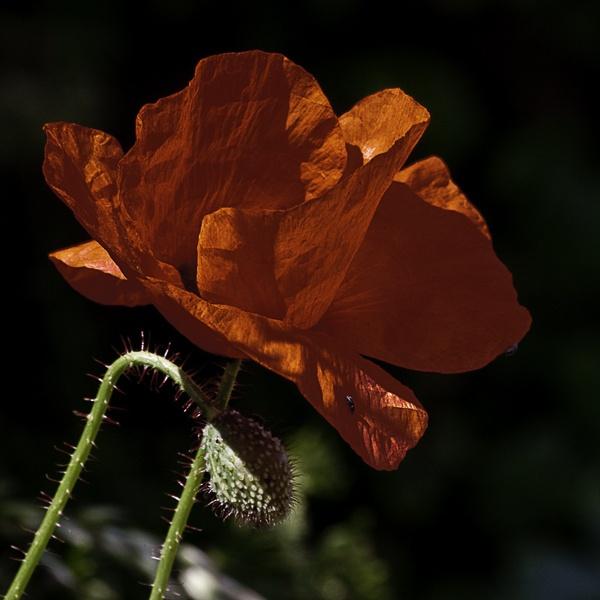 poppy by davemck