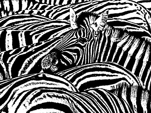 zebra portrait by davemck