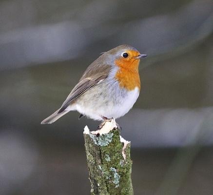 Robin by gwood