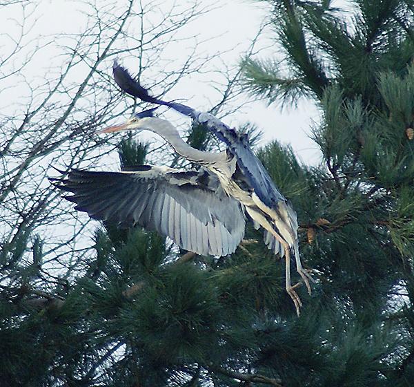 Landing Heron by SiSheff