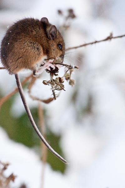 Winter Mouse by dawnUK