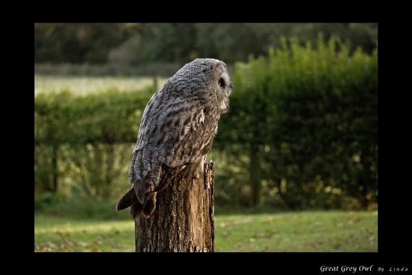 The Great Grey Owl by Mynett