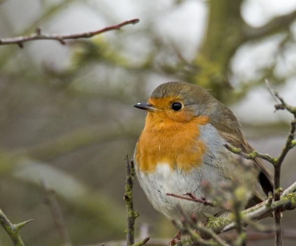 Winter Robin by Emmog