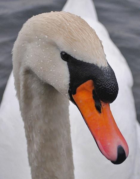Swan by PLH