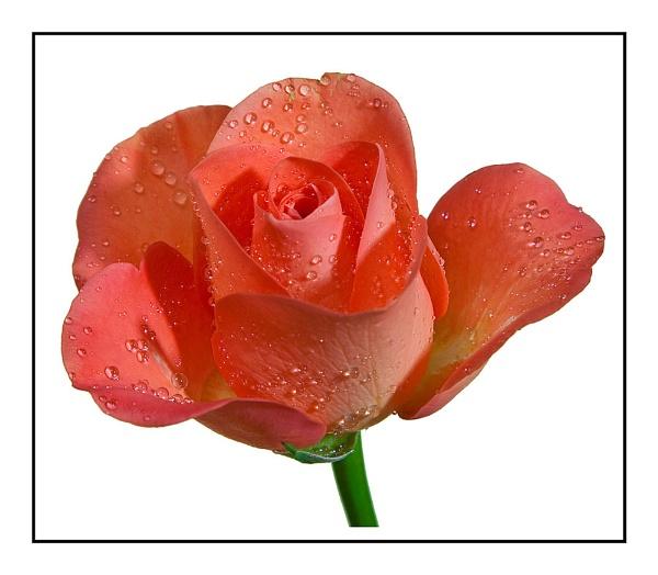 Rose 2 by JackAllTog