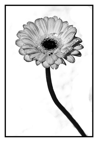 Gerbera in white. by JackAllTog