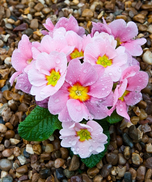 Primula Flower on Stone