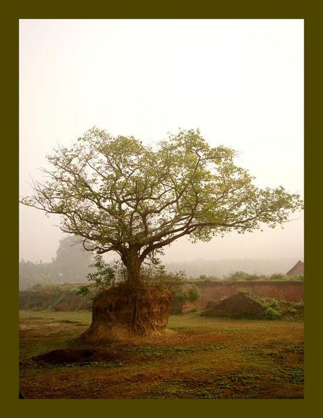 peepal tree by Ananda