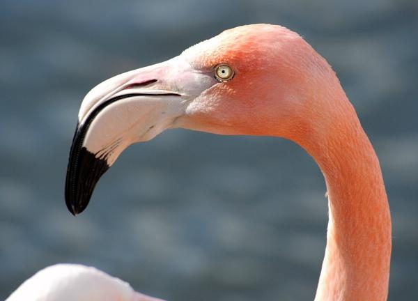 Flamingo by Carljorgensen