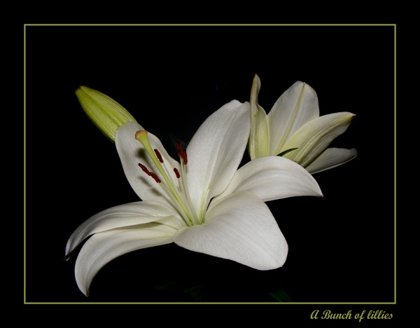 Lillies II by Sampics