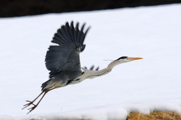 Heron in flight by Grassi