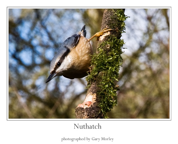 Nuthatch by gmorley