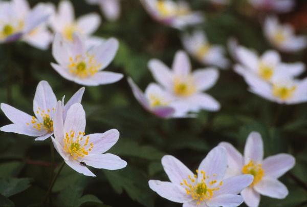 Wood Anemones. (Anemone nemorosa) by Amanita05