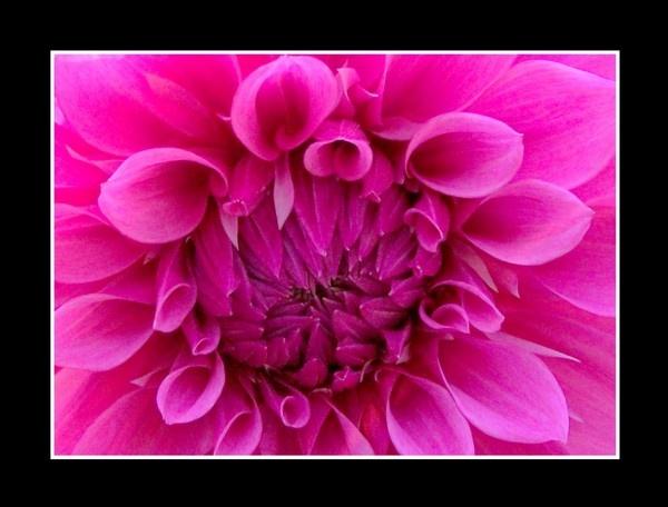 Pink Dahlia by nancy_borah