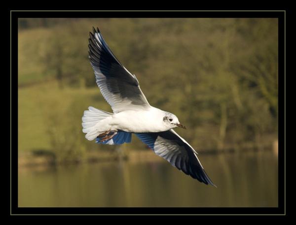 black-headed gull by jasonrwl