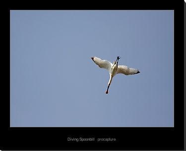 Diving Spoonbill by tjdup