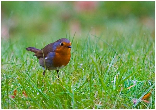 Err....Robin by stevieb
