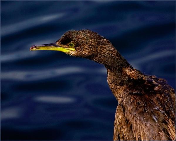 Cormorant by DavePrince