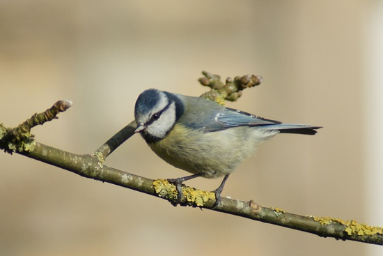 Blue Tit by pledwith