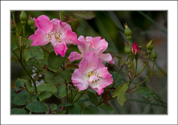 Wild Roses by casson