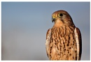 Kestrel. by Buffalo_Tom