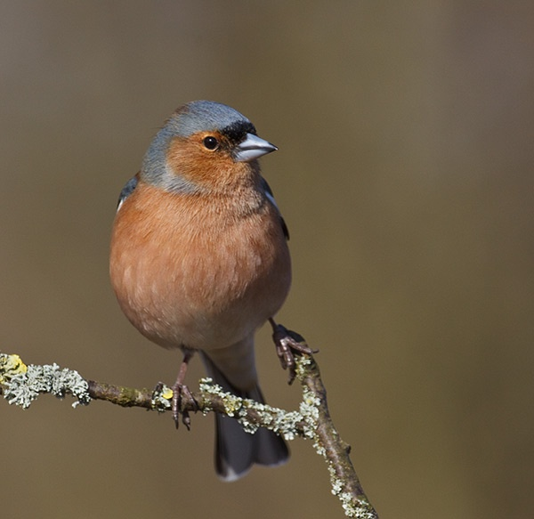 Chaffinch by JonMA