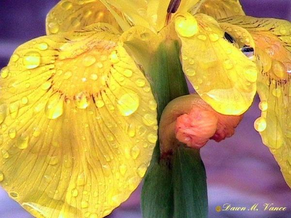 Iris by dawnmichelle