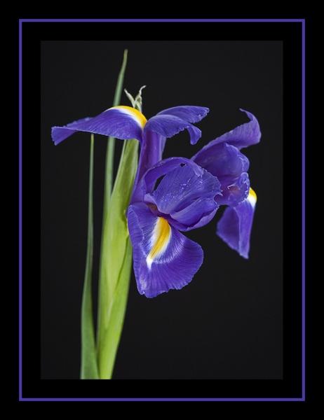 Iris by taupo