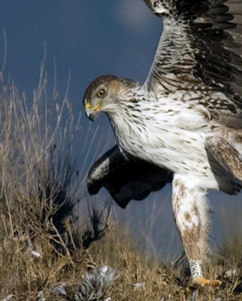 Bonelli\'s Eagle by ukdrifter