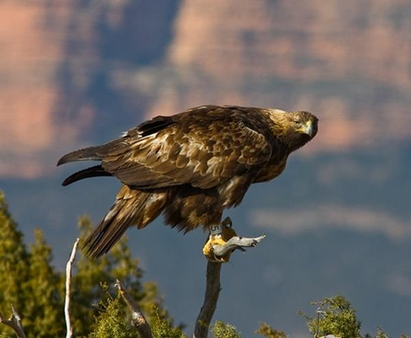 Golden Eagle by ukdrifter
