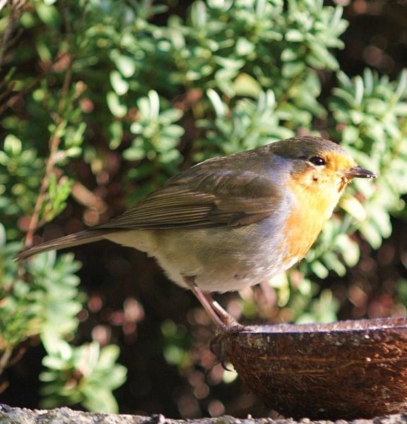Robin by Warriorpoet