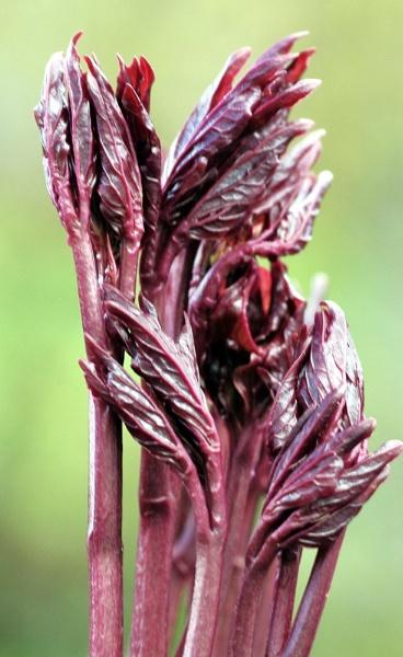 Purple shoots by nonur