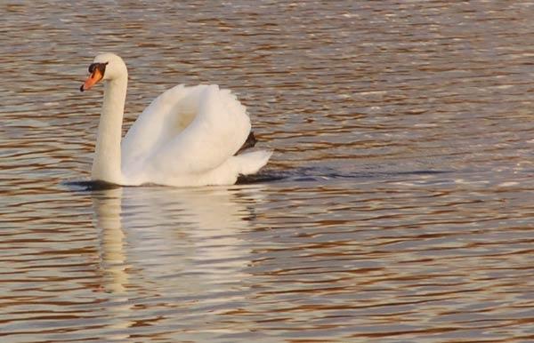 Swan by wennyb