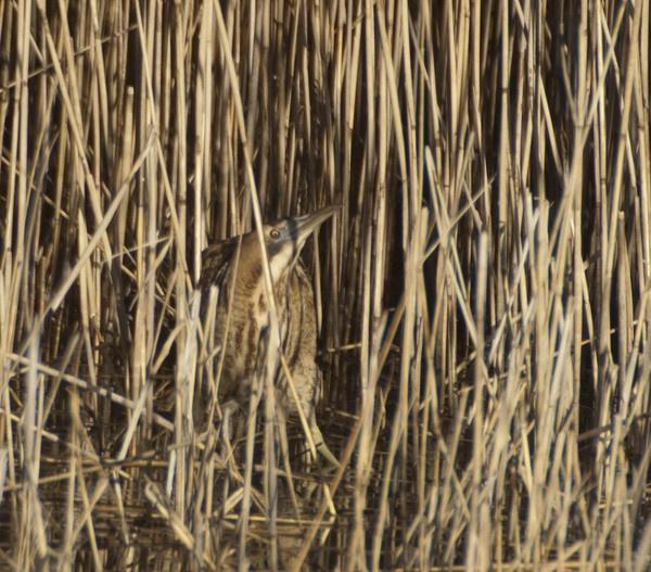 Bittern camouflage by Emmog