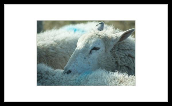 Sheep by bridget1234