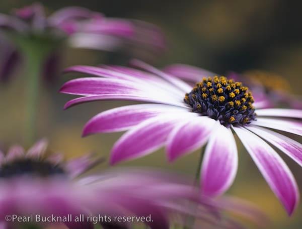 OSTEOSPERMUM flowers by pearlbucknall