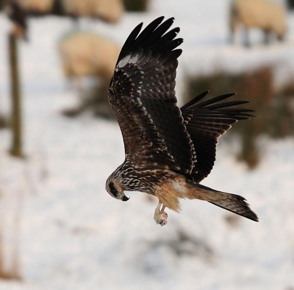 Black Kite at Gigrin by NicolaCariad