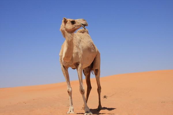 Camel by AneesKarakkad
