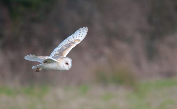 Wild Barn Owl Soaring by jonah794
