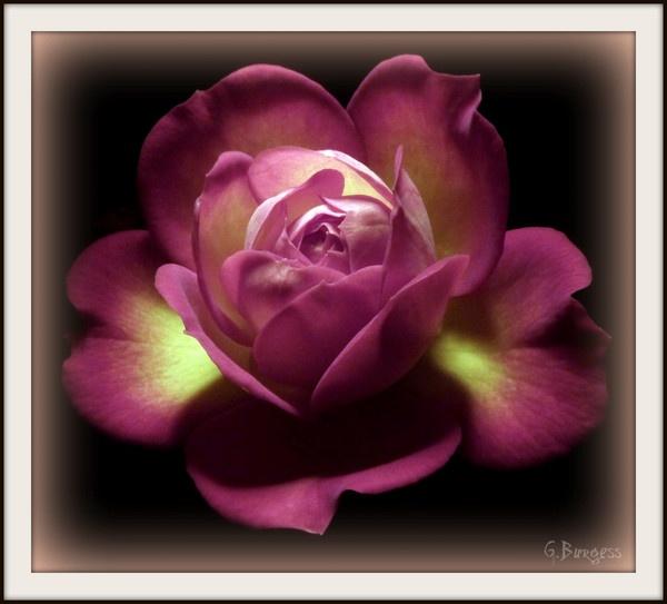 Miniture Rose by Glynbig